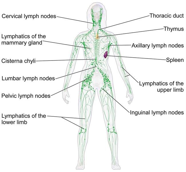 melanoma surgery - lymphadenectomy, Cephalic Vein